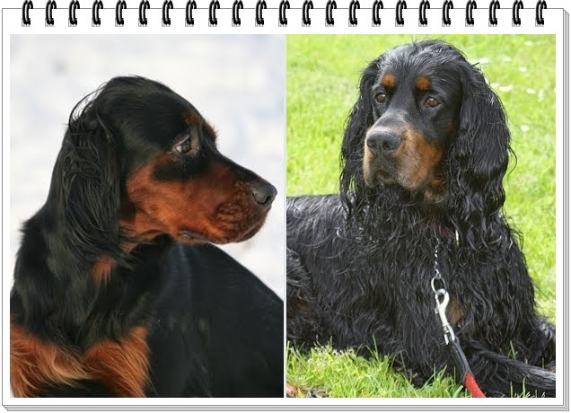 https://sites.google.com/site/kemtinsblack/home/gordon-setter-wurfplanung/Emma%20und%20Manto.JPG?attredirects=0